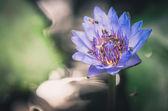 Lotus or Water lily flower vintage — Stock fotografie
