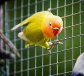Lovebird parrot — Stock Photo