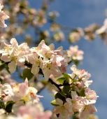Flowers of the cherry blossoms — Stock Photo