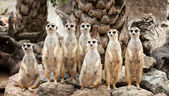 Portrait of meerkat family — Stock Photo