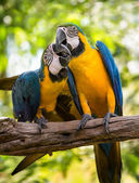 Colorful couple macaws — Stock Photo