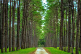 Pine Agroforestry — Stock Photo