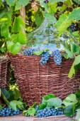Demijohn in a wicker basket and dark grapes — Stock Photo
