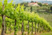 Field of vines on a background of a hacienda in Tuscany — Stock Photo