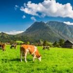 Herd of cows grazing in Alps — Stock Photo #56429401