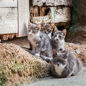 Homeless kittens with mom in Tuscany — Stock Photo