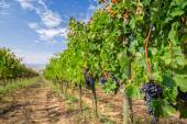 Vineyard full of ripe grapes in Tuscany — Stock Photo