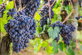 Ripe grapes on the vine — Stock Photo