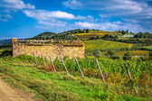 Field of vines in the countryside of Tuscany — Stock Photo
