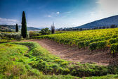 Green field with grapes in Tuscany — Stock Photo