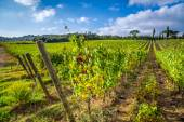 Vineyard full of grapes in Tuscany — Stock Photo
