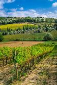 Plantation of vines near Montalcino in Tuscany — Stock Photo