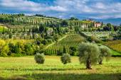 Olive trees and vineyards in a small village in Tuscany — Stock Photo