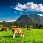 Herd of cows grazing in Alps — Stock Photo #59240829