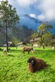 Sheep grazed on pasture in the Alps — Stock Photo