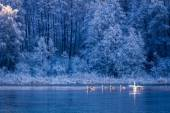 Swans at sunrise on winter lake — Stock Photo