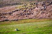 Flock of sheep guarded by sheepdog — Stock fotografie