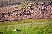 Flock of sheep guarded by sheepdog — Zdjęcie stockowe