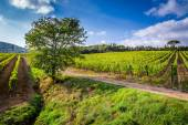 Beautiful view of the vineyards in Tuscany — Foto Stock
