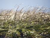 Glittering Beach Grass — Stock Photo