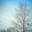 Winter Birch Tree with Eagle — Stock Photo #61440557