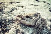 Bevroren zalm — Stockfoto