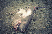 Dead Sleeper Shark  — Stock Photo