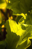 Glowing Light on Leaves — Foto Stock