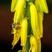 Honey Bee on Yellow Flower — Stock Photo