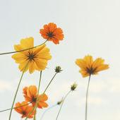Yellow blossom flowers — Stock Photo