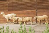Alpaca and sheep — Stock Photo