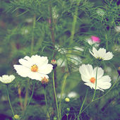 White cosmos flowers — Stock Photo