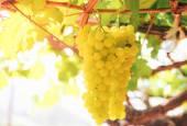 Grape vine in yard — Stock Photo