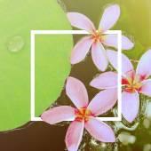 Pink frangipani flowers — Stock Photo