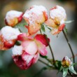 Garden rose under the snow — Stockfoto #56646891