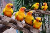 Piękne kolorowe papugi, słońce conure (aratinga solstitialis) — Zdjęcie stockowe