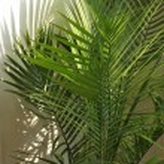 Palm Houseplant — Stock Photo #63624877