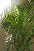 Palm Houseplant — Stock Photo