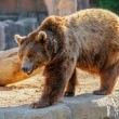 Bear in nature — Stock Photo #65692383