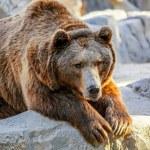 Bear — Stock Photo #65693821