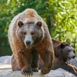 Bear in nature — Stock Photo #66532307