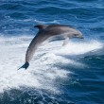 Постер, плакат: Dolphin jumping