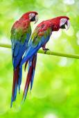Two big parrots — Stockfoto