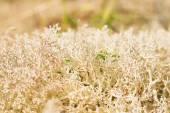 Reindeer moss — Stock Photo