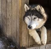 Siberian Huskies in nursery for dogs — Stock Photo