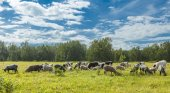Calfs and lambs on a pasture in a sunny day — Stock Photo