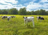 Calfs on a pasture in a sunny day on Kamchatka — Stock Photo