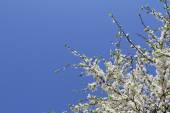 Spring flowering — Stock Photo
