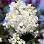 Lilac garden — Stock Photo #64979705