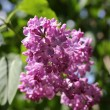 Lilac flower — Stock Photo #64979719